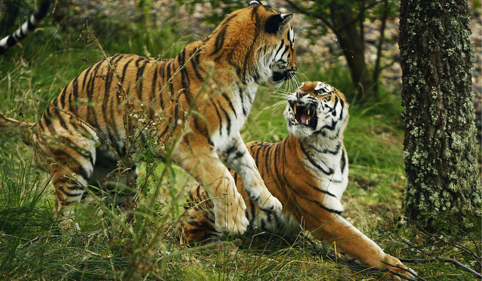 тигры, фото