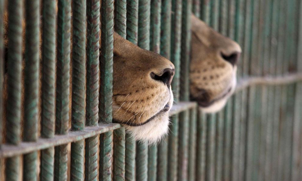 львы, фото