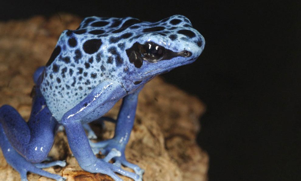 синяя лягушка, фото