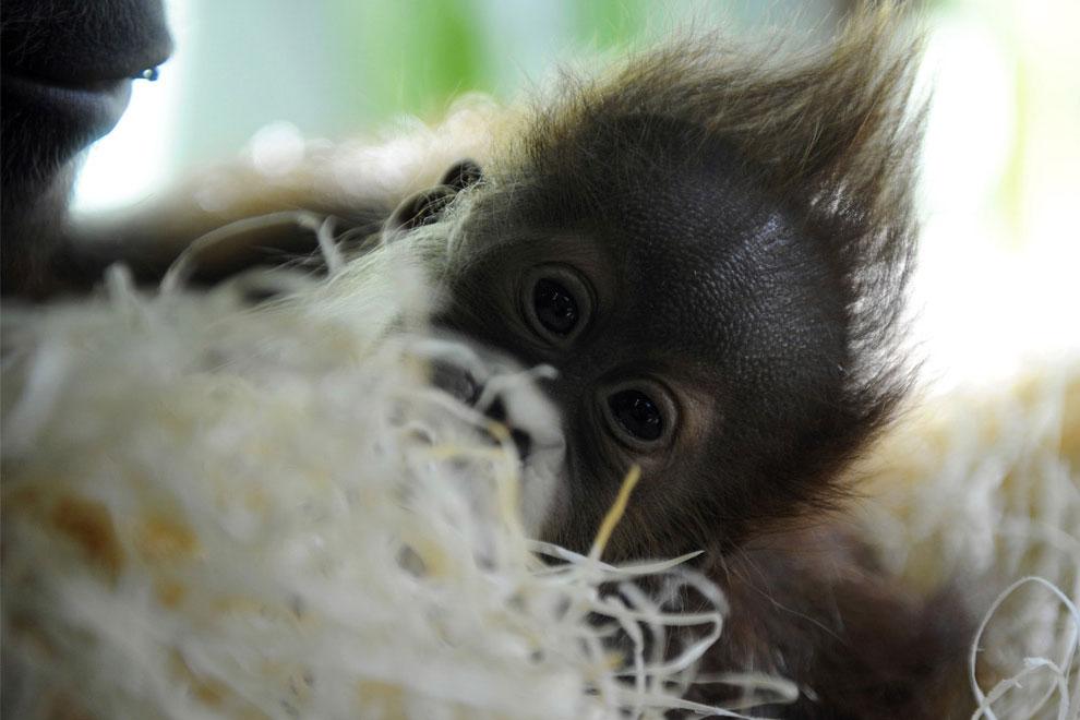 орангутанг, фото