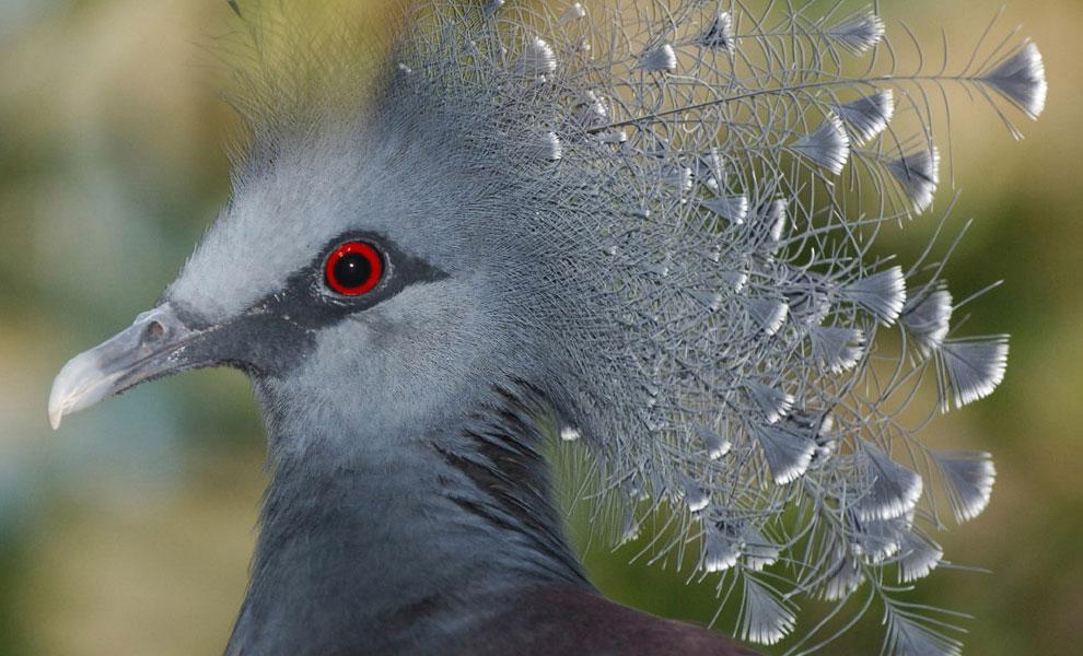Королевский голубь, фото