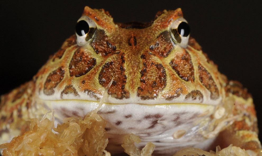 Рогатая лягушка, фото