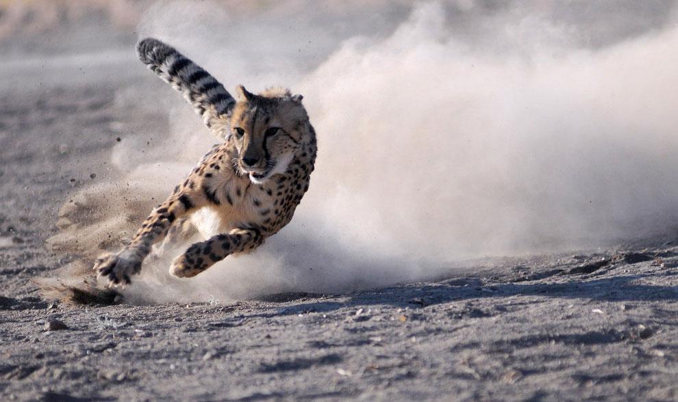 гепард, фото