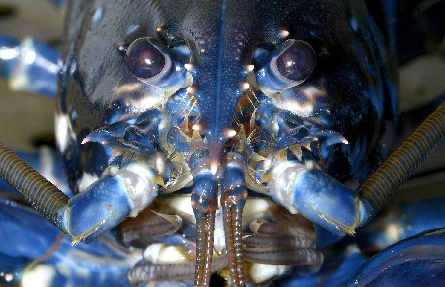 Европейский омар