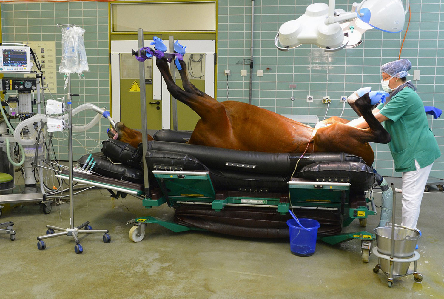 кастрация лошади