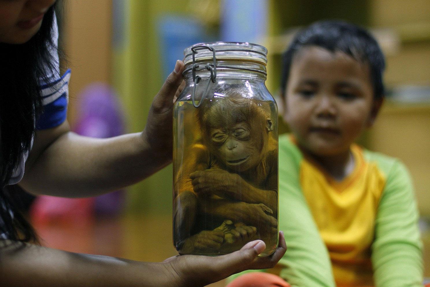 детеныш орангутанга в банке