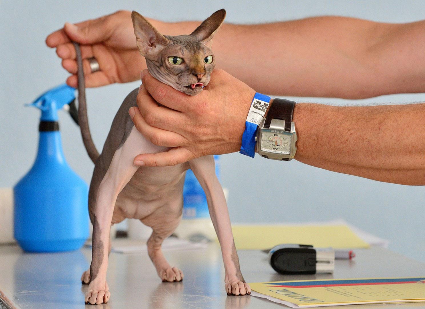кошка сфинкс