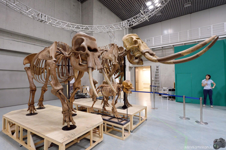 скелет мамонта