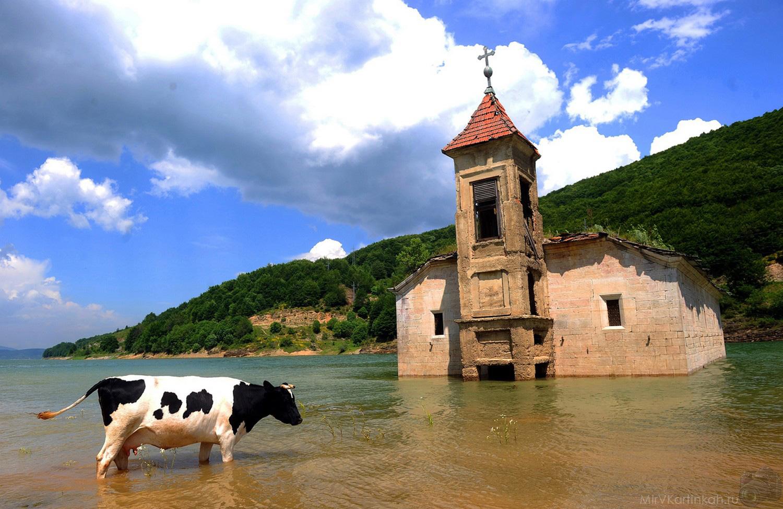 корова в озере