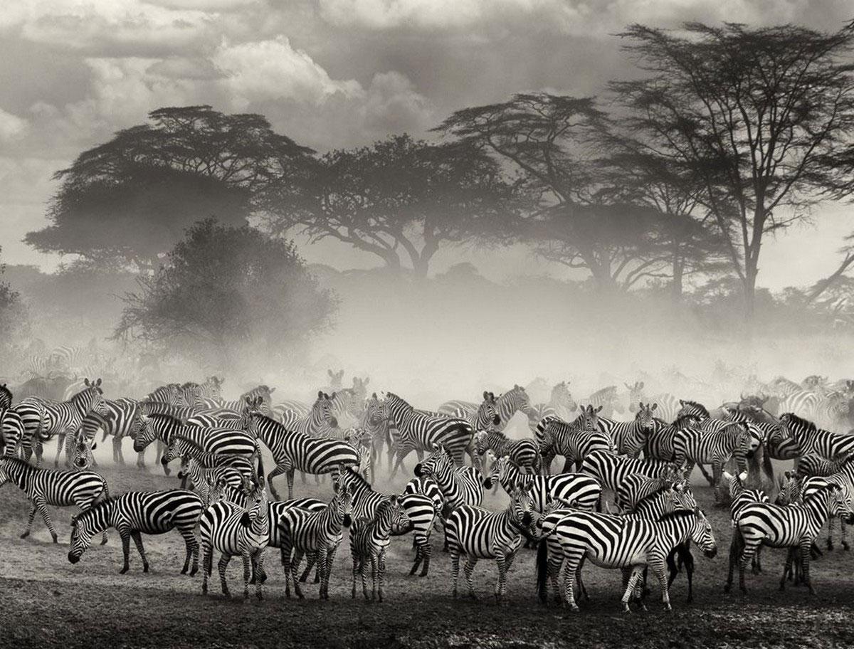 Зебры на берегу реки