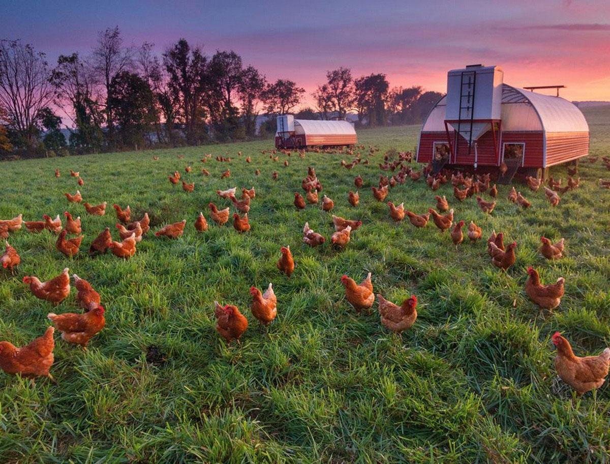 Куриная ферма