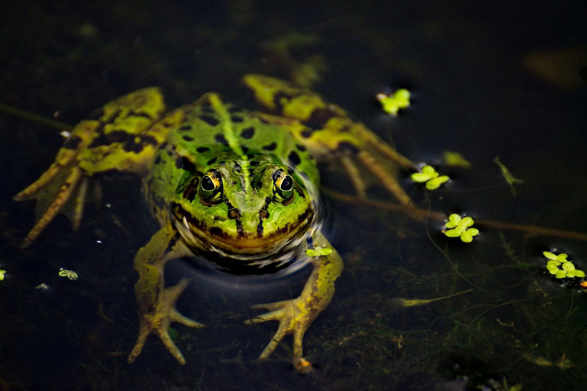 Лягушка в болоте