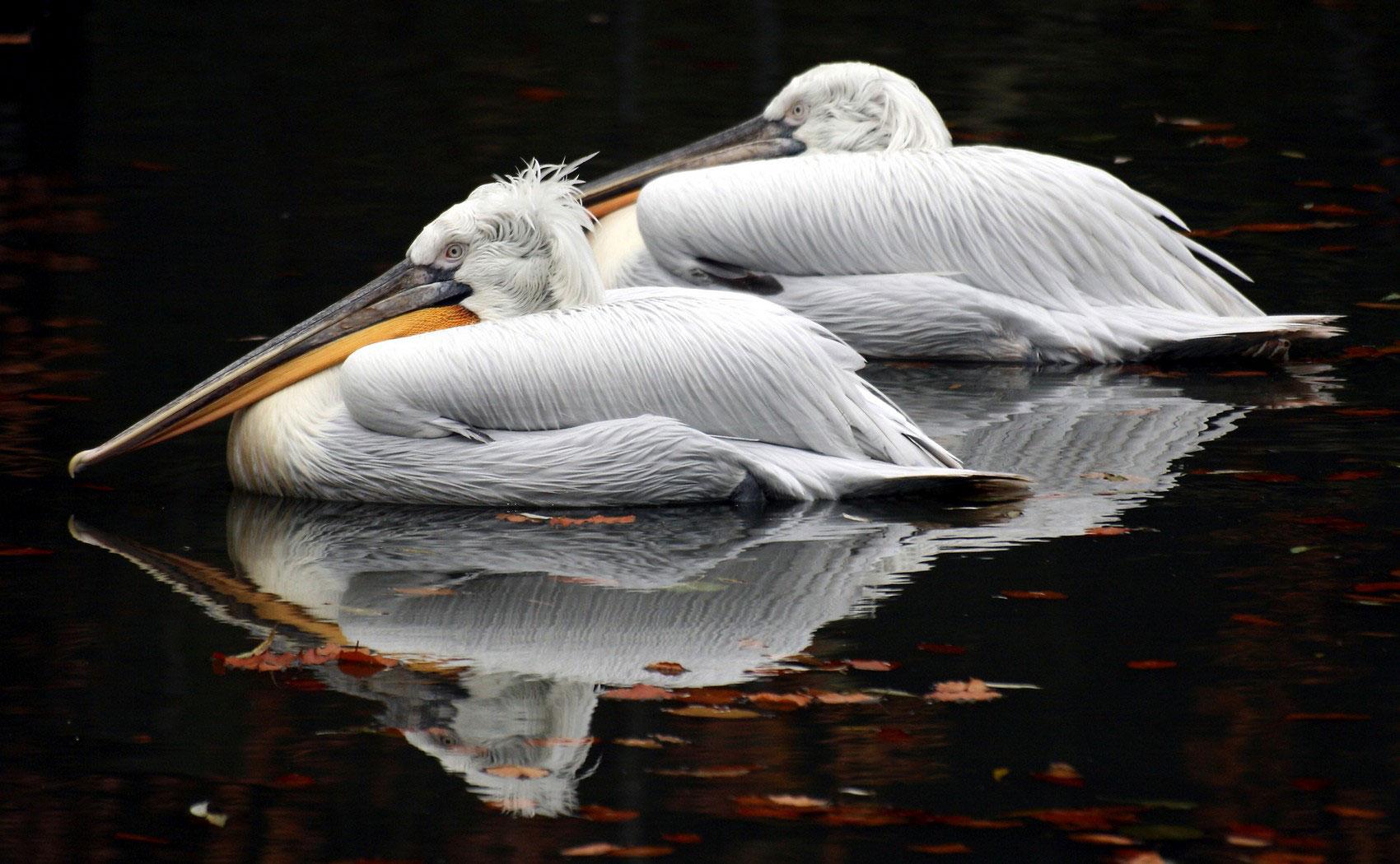 Кудрявый пеликан в водоеме, фото животного мира