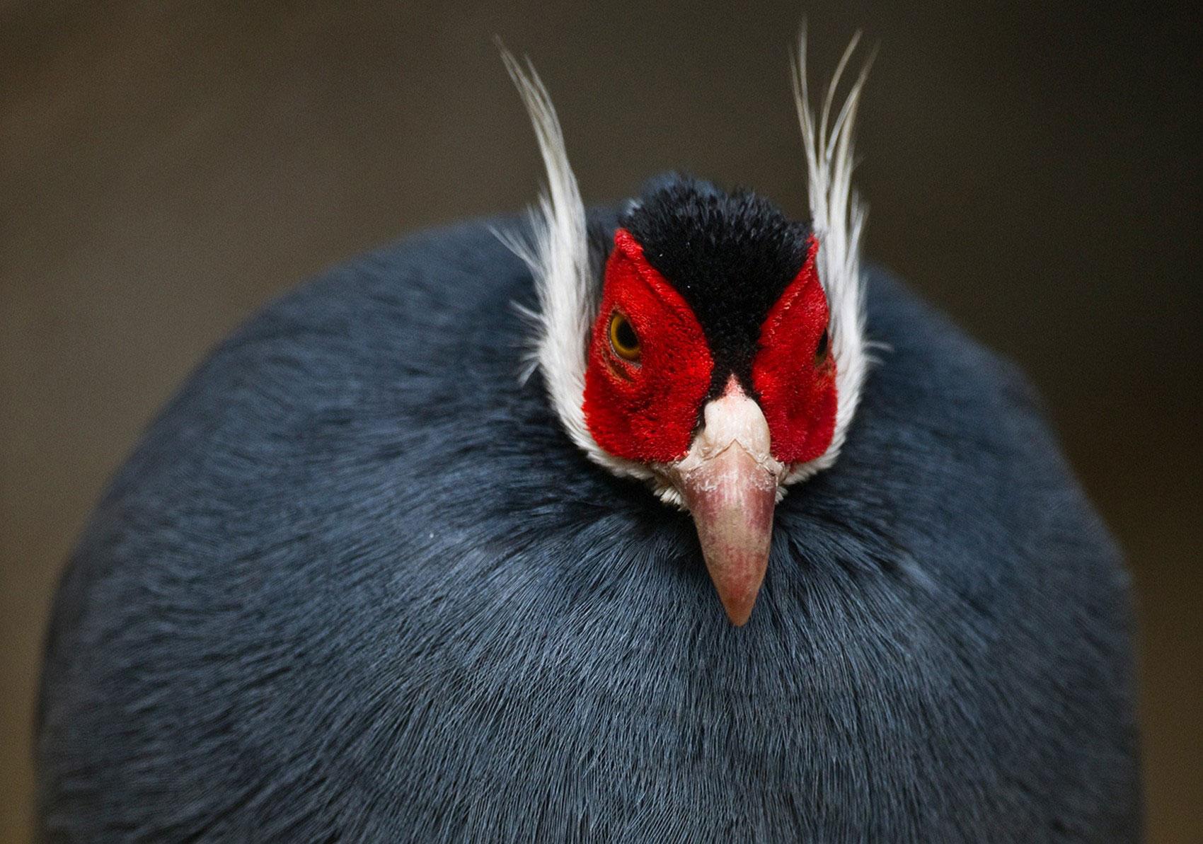 Синий ушастый фазан, фото