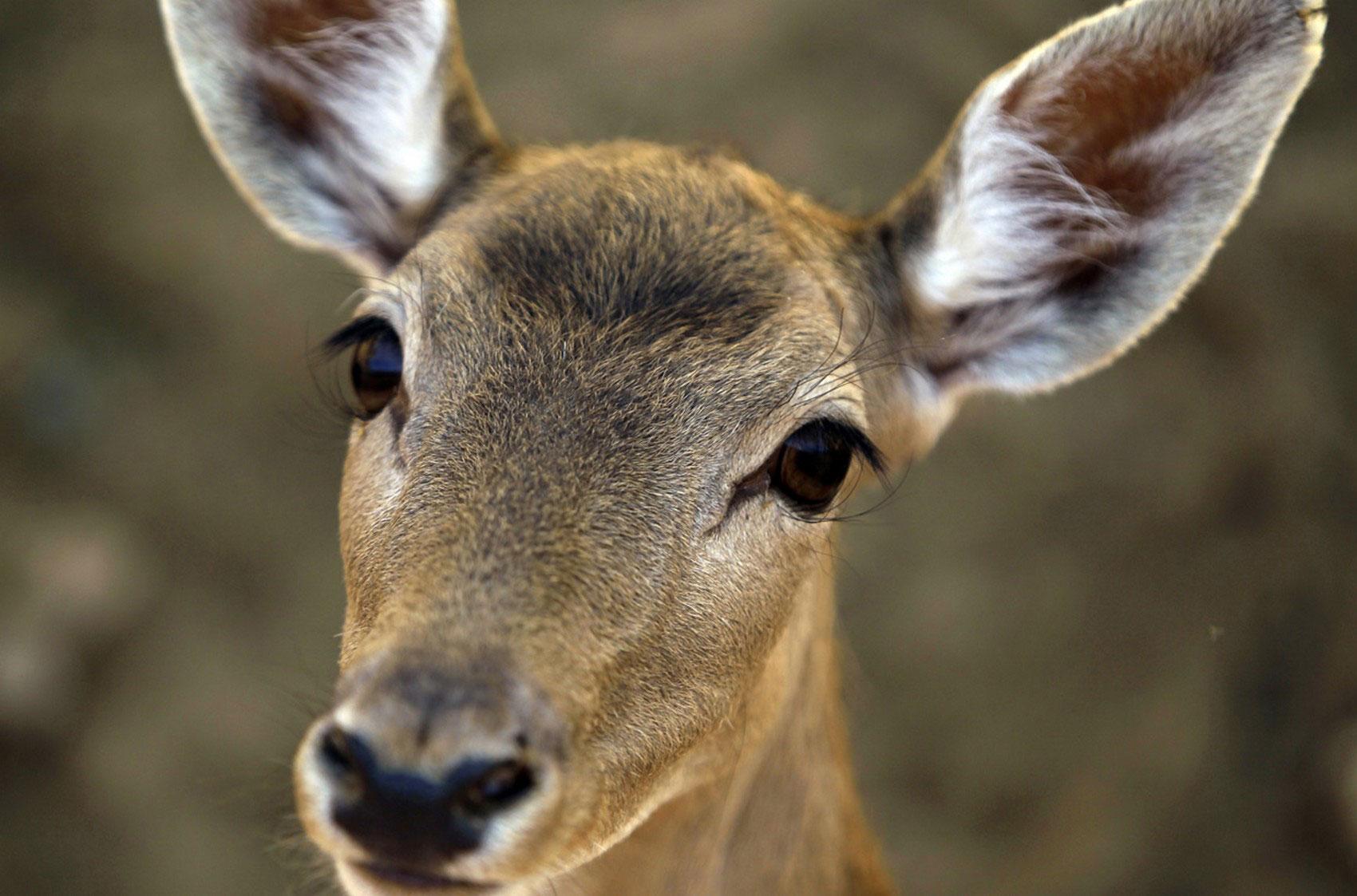 Африканская антилопа, фото животного мира