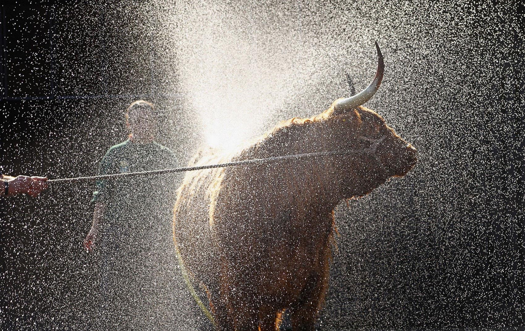 корову поливают водой