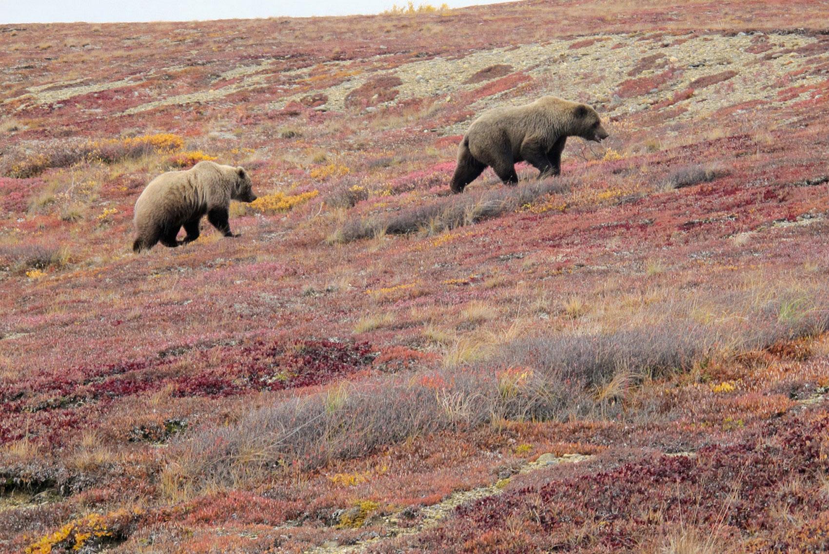 Два медведя в тундре