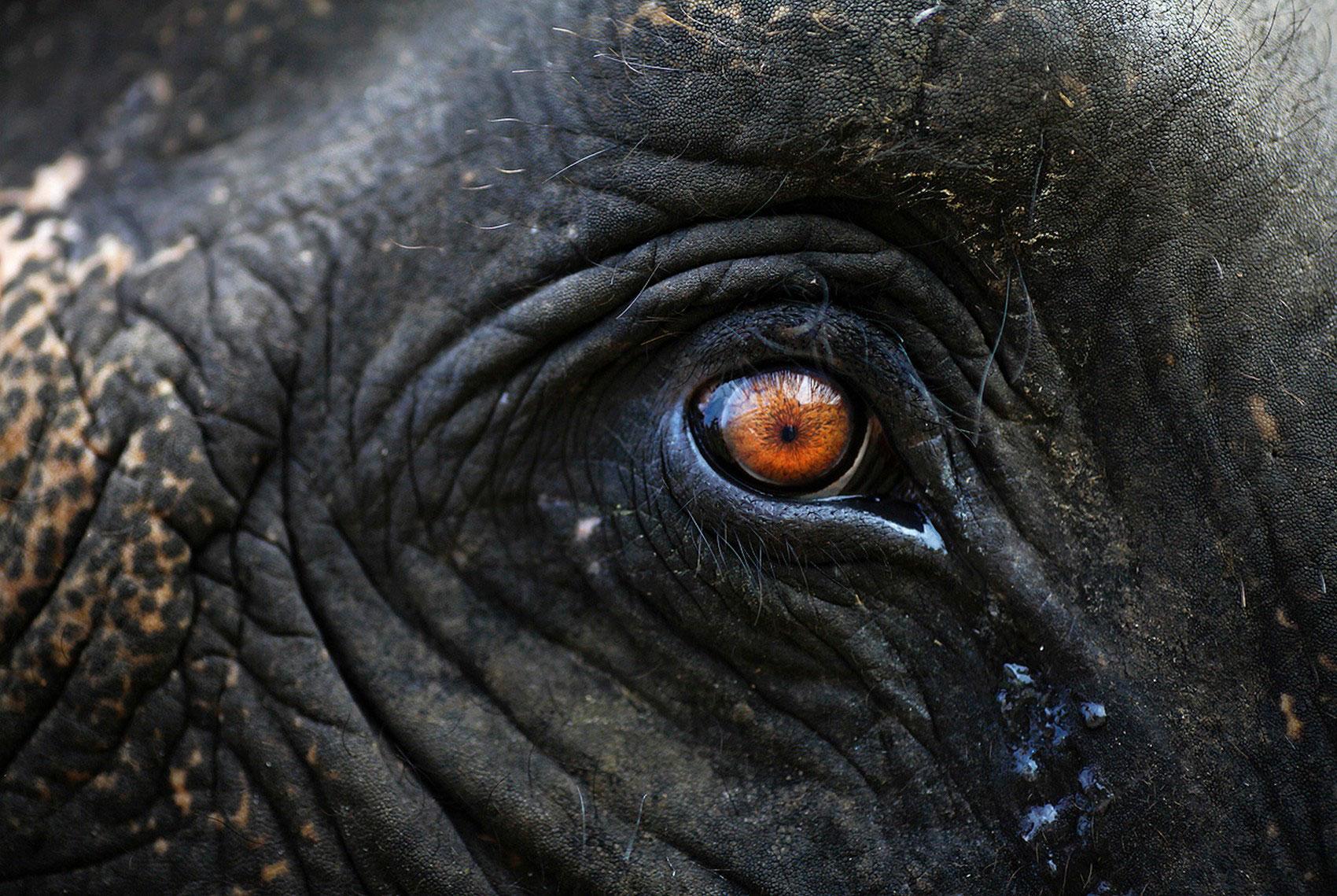 Глаз слона, фото животного мира