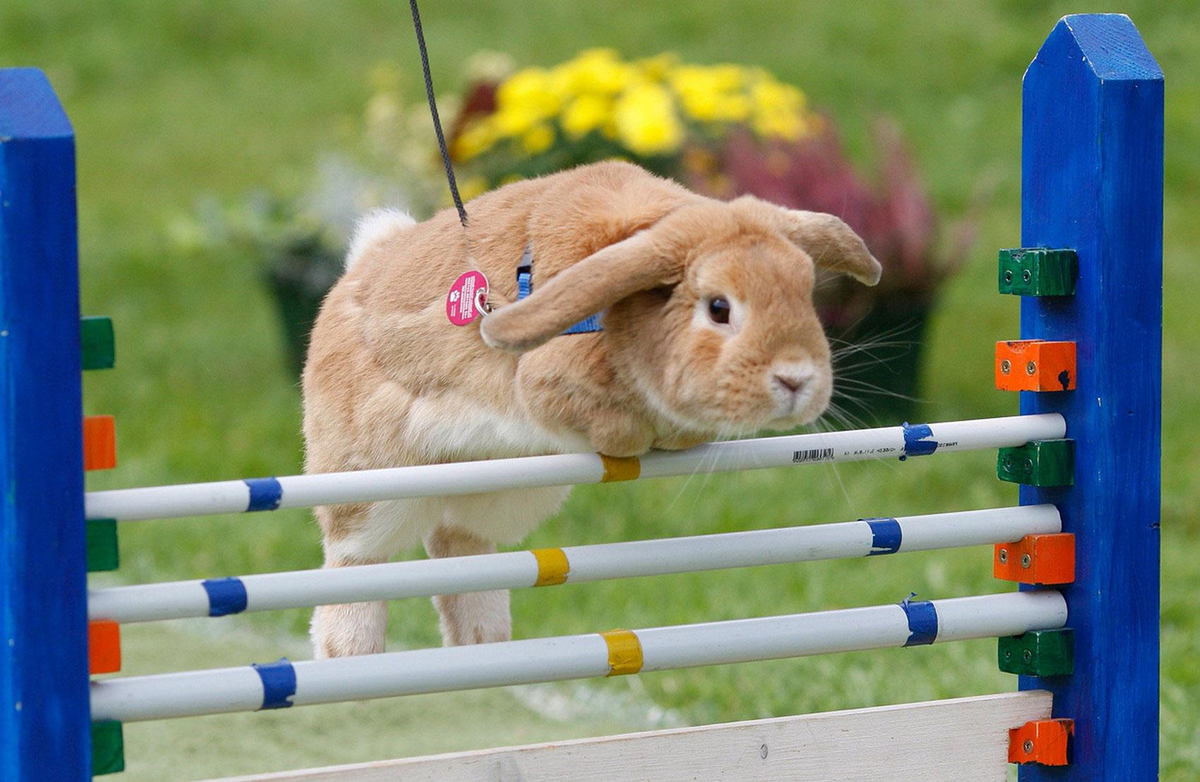 кролик на соревнованиях, фото