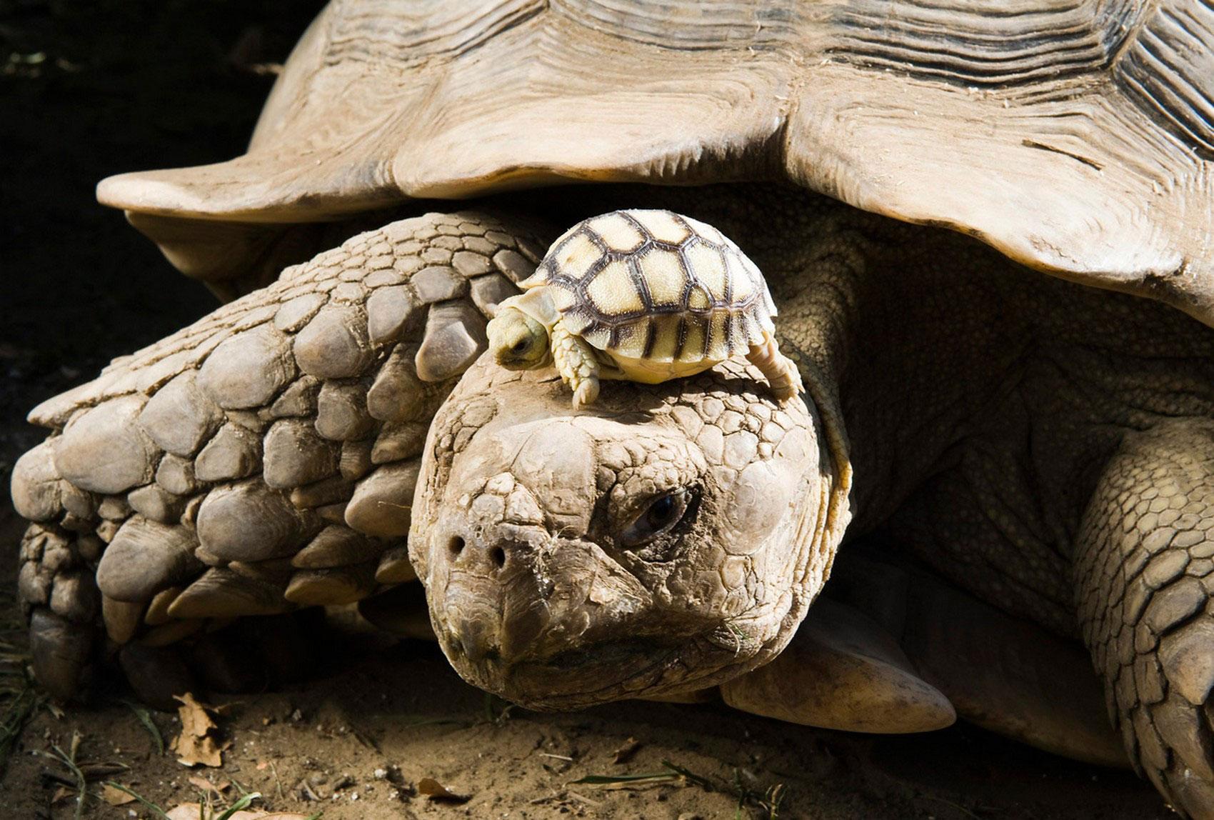 Самка африканской шпороносной черепахи, фото животного мира