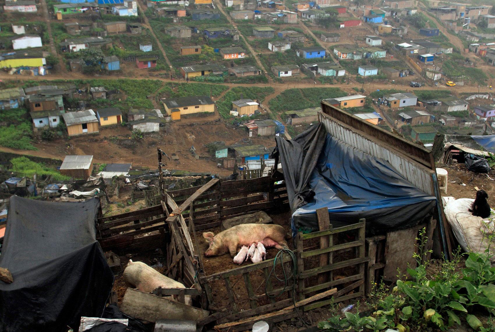 Поросята на ферме, фото