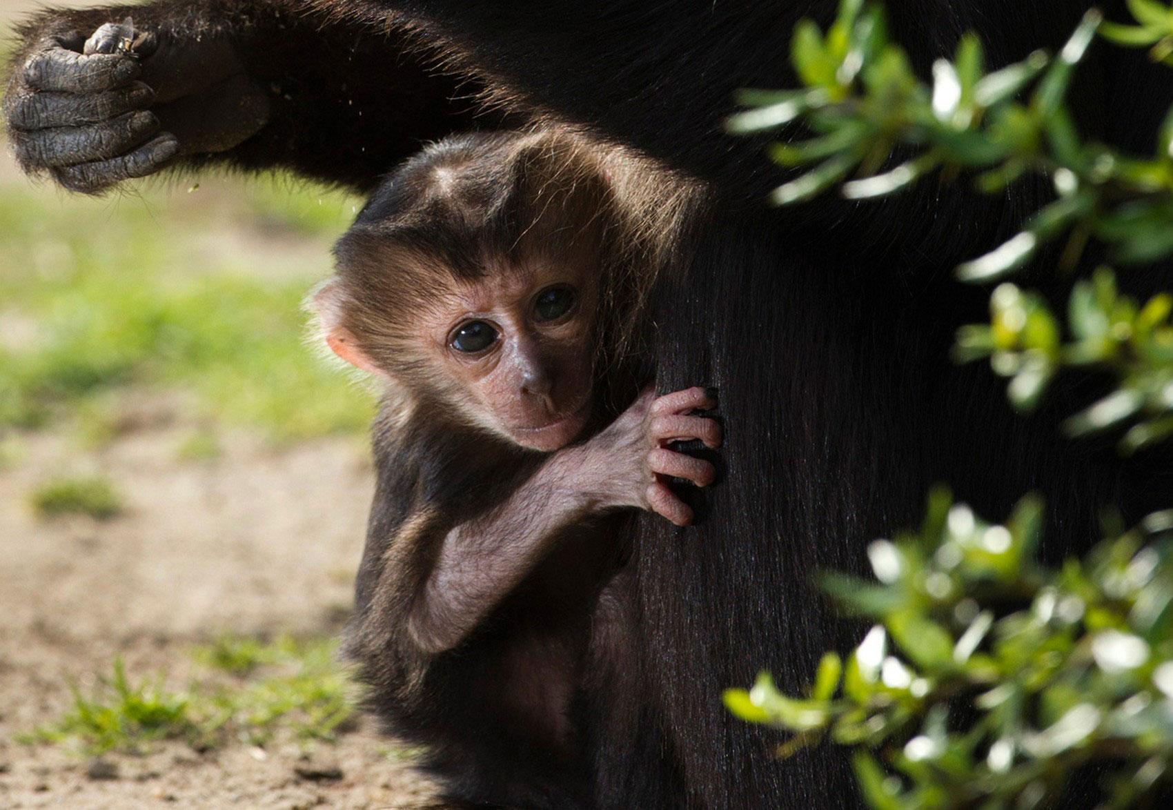 Детеныш вандеру, фото львинохвостой макаки