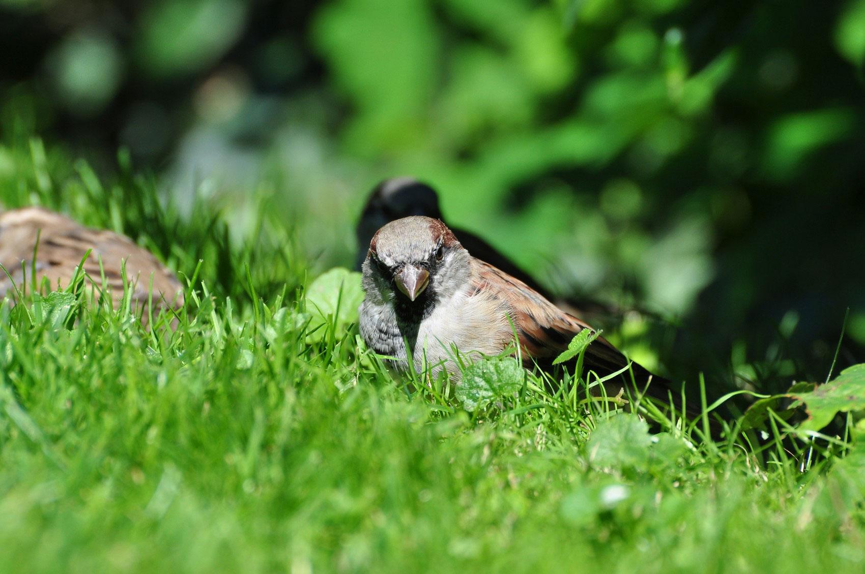 воробьи на траве, фото