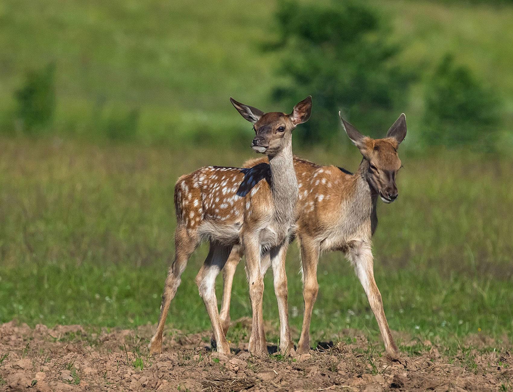оленята, фото животного мира
