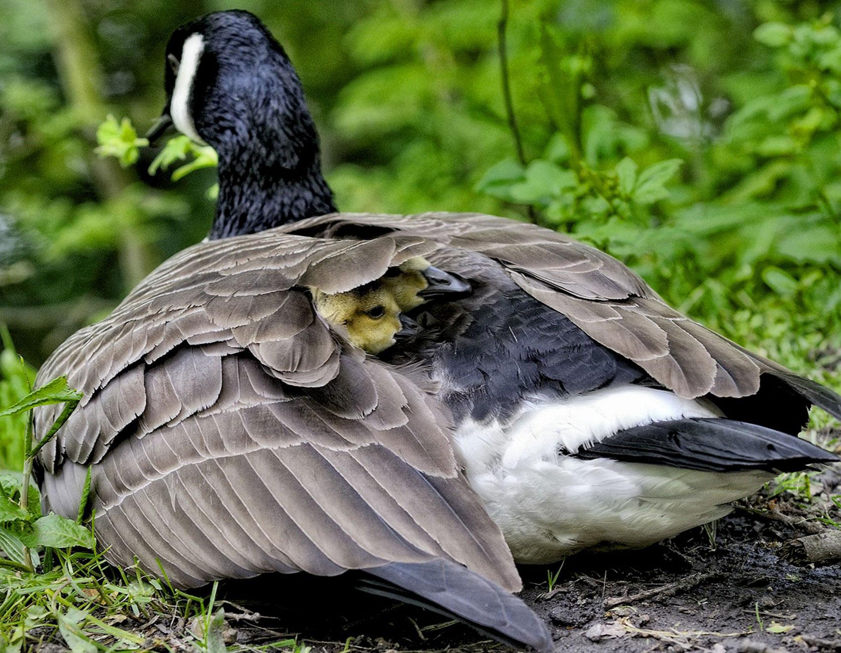 утка с утятами, фото