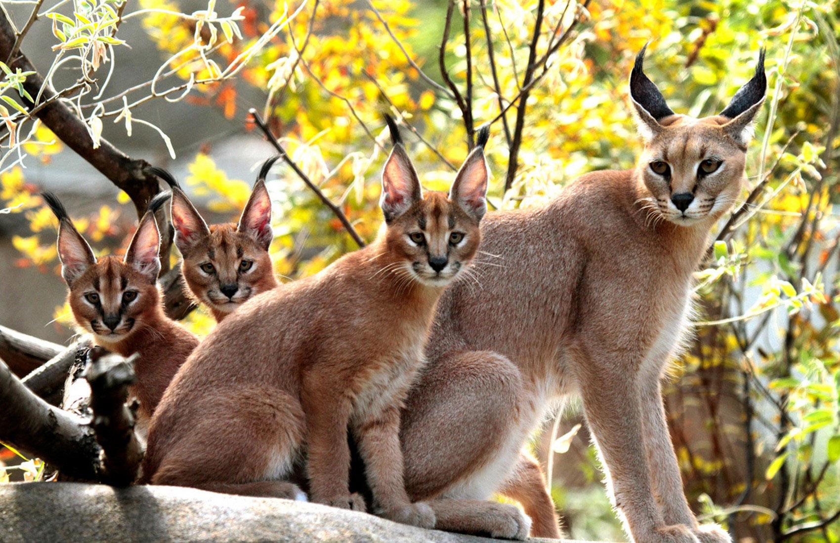 Каракал, фото животного мира