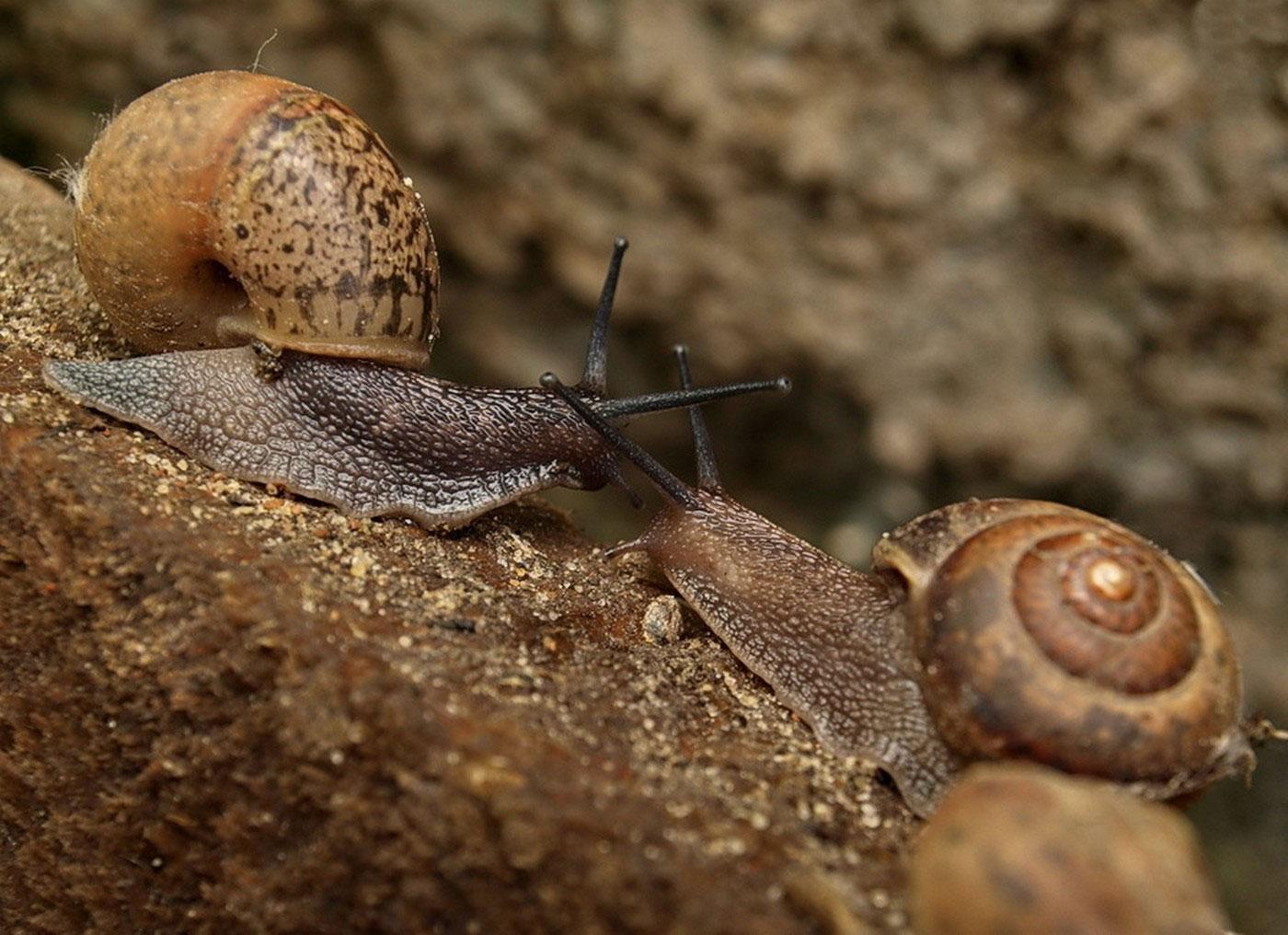 Виноградные улитки, фото животного мира