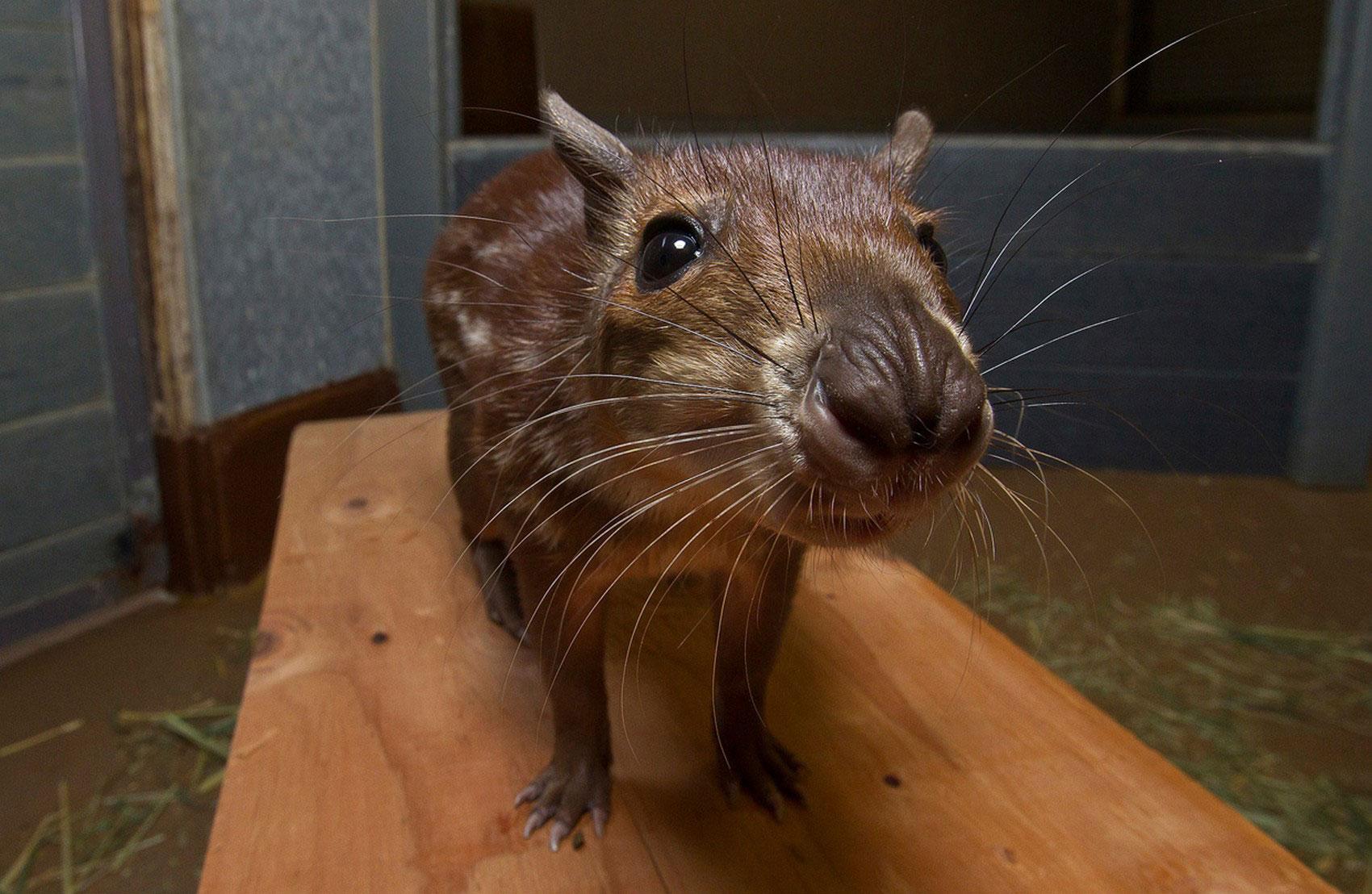 Пака, фото животного мира