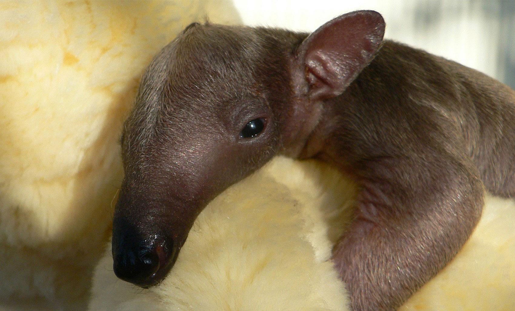 Детеныш американского муравьеда, фото
