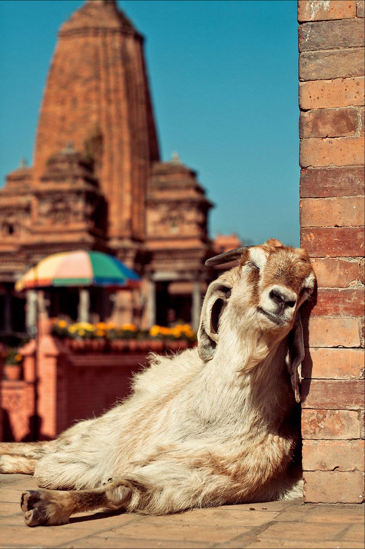 коза на солнышке, фото животного мира
