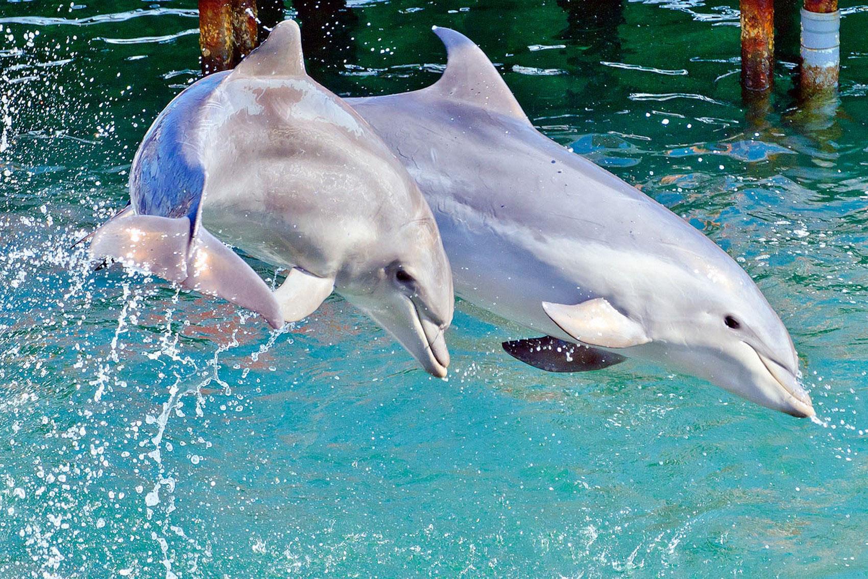 Афалины, фото дельфинов