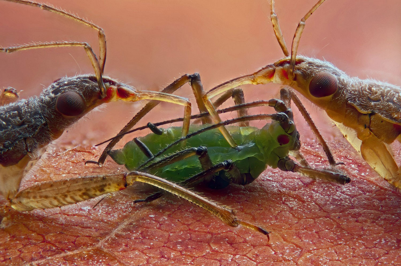 Клопы-охотники, фото под микроскопом