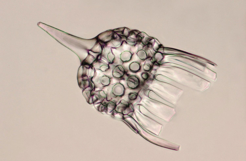 Скелет радиолярий, фото живых организмов