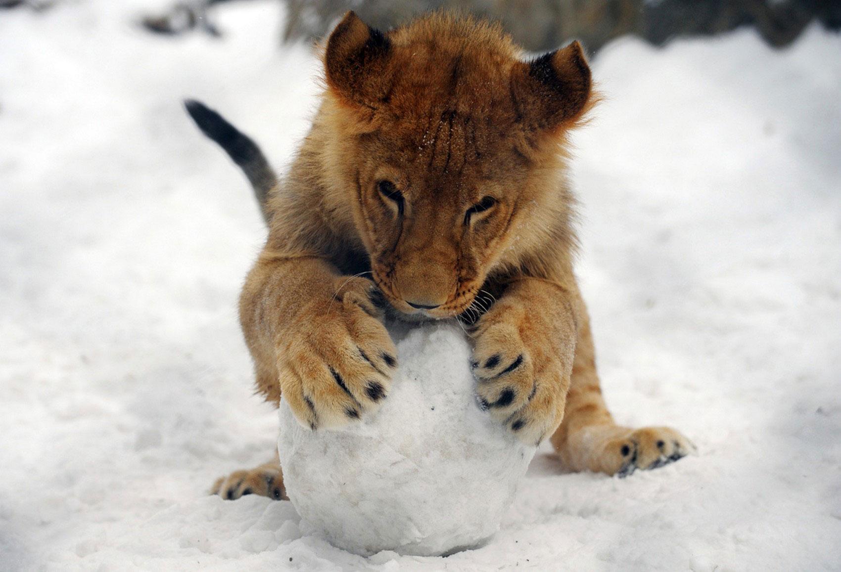 Львенок играет со снежком